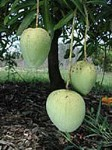 Ice Cream Dwarf Mango - 7 Gallon - GRAFTED