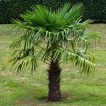 Windmill Palm Tree - 3 Gallon