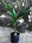 Coconut palm tree- 3 Gallon Pot