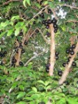 Jaboticaba tree - 3 Gallon