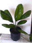 Licuala grandis palm- 7 Gallon