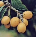 Loquat Grafted - 3 Gallon - GRAFTED