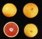 Cara Cara Red Navel Orange - 30 Gallon - GRAFTED