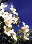 Stephanotis / Madagascar Jasmine - 3 Gallon - Trellised