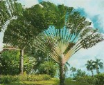 Traveler Tree / Traveler Palm - 3 Gallon