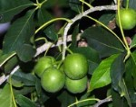 Sapote White tree - 3 Gallon - GRAFTED