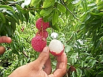 Brewster Lychee- (Air-layer) - 3 Gallon